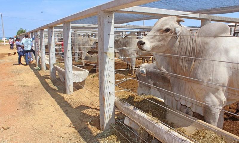 Agrotins 100% Digital abre oficialmente leilão de bovinos nesta quarta